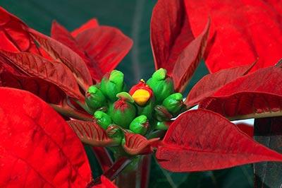 یک گیاه زیبا با برگهای قرمز و گلهایی سبزرنگ