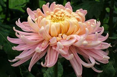 یک گل داوودی صورتی رنگ با برگهای سوزنی شکل و تا خورده
