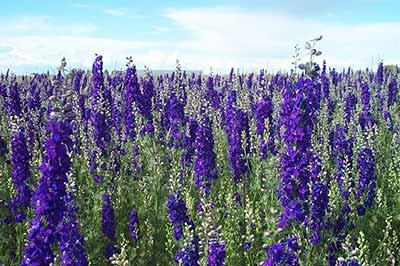 دشتی سرسبز پوشیده از گلهای آبی رنگ زبان در قفا