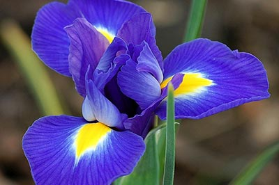 یک گل زنبق سه پر با گلبرگهای آبی و زرد رنگ