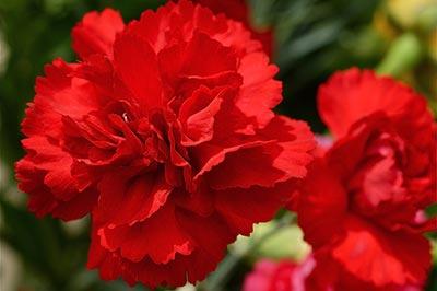 دو شاخه گل میخک قرمز زیبا با گلبرگهای چین خورده