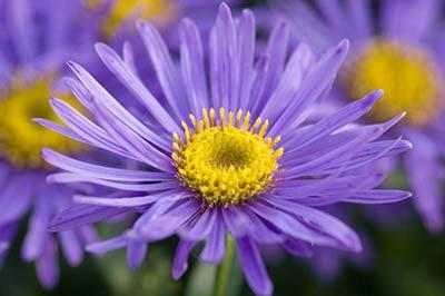 چهار گل مینای ستارهای بنفش رنگ با مراکز زرد رنگ