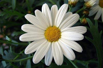 یک گل مینای سفیدرنگ با مرکزی زرد رنگ در میان علفزار سرسبز