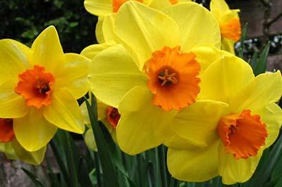سه شاخه گل نرگس زرد رنگ با مراکز نارنجی