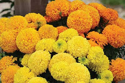 دستهای از گلهای همیشه بهار زرد و نارنجی شاد و زیبا